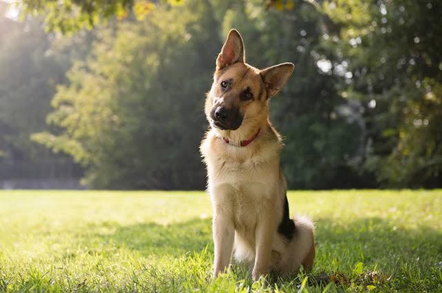 Entenda o caso: Cachorros em Hong Kong são contaminados com COVID-19